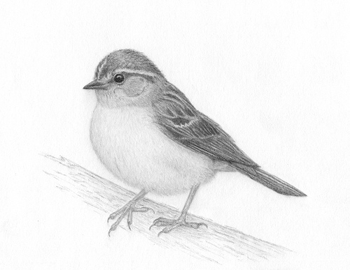 bird-pencil-drawing-artist
